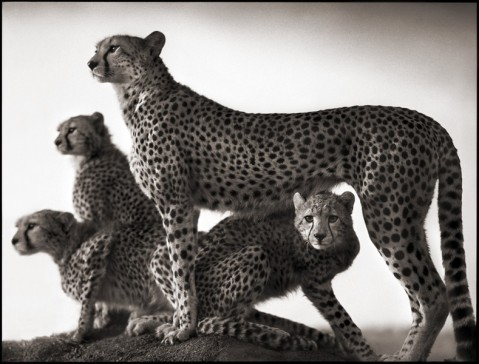 african-wildlife-nick-brandt-02
